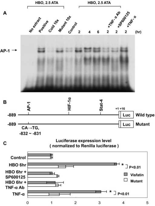 HBO increases AP-1-binding activity and visfatin promoter activity. A, Representative EMSA showing protein binding to the AP-1 oligonucleotide in nuclear extracts of human CAECs after HBO treatment in the presence or absence of inhibitors and TNF-α antibody. Similar results were found in another two independent experiments. Cold oligo means unlabeled AP-1 oligonucleotides. B, Constructs of visfatin promoter gene. Positive +1 demonstrates the initiation site for the visfatin transcription. Mutant visfatin promoter indicates mutation of AP-1 binding sites in the visfatin promoter as indicated. C, Quantitative analysis of visfatin promoter activity. The luciferase activity in cell lysates was measured and was normalized with renilla activity (n = 4 per group). *P < 0.001 vs. control.