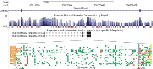 A novel human coding gene found using mRNA-Seq and PhyloCSF. Transcriptome reconstruction by Scripture (Guttman et al., 2010) based on brain mRNA-Seq data provided by Illumina, Inc. produced two alternative transcript models lying antisense to an intron of GTF2E2, a known protein-coding gene. PhyloCSF identified a 95-codon ORF in the third exon of this transcript, highly conserved across placental mammals. The color schematic illustrates the genome alignment of 29 placental mammals for this ORF, indicating conservation (white), synonymous and conservative codon substitutions (green), other non-synonymous codon substitutions (red), stop codons (blue/magenta/yellow) and frame-shifted regions (orange). Despite its unmistakable protein-coding evolutionary signatures, the ORF's translation shows no sequence similarity to known proteins.