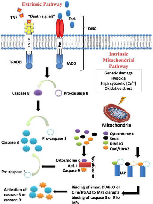 The intrinsic and extrinsic pathways of apoptosis.