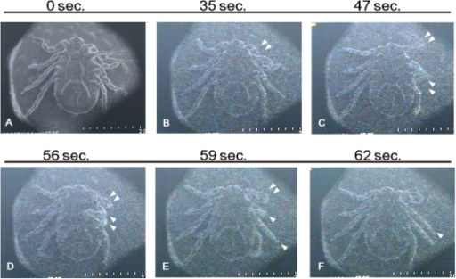 Motion of a live tick under SEM.Images of the TV mode were recorded. Time under vacuum conditions is shown on top of each picture. Leg movements are indicated by triangles.