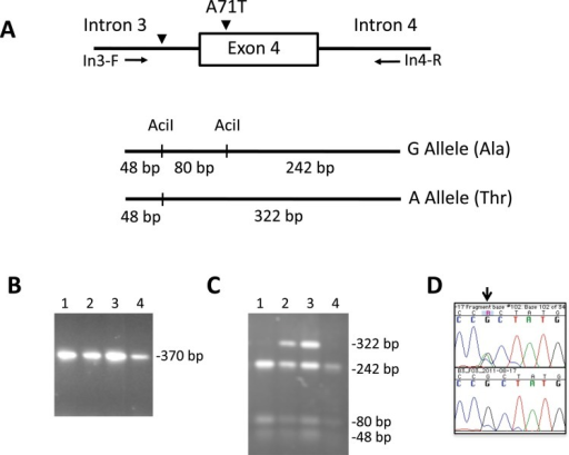Genotyping of the Ala71Thr substitution in exon 4 of BLK. (A) Schematic diagrams showing the procedure for genotyping the single-nucleotide polymorphism (SNP) rs55758736 in exon 4 of BLK. Genomic DNA was amplified with primers flanking exon 4 (In3-F: 5′AGAAGCCTGTCCTCCTTGGTAGC 3′ and In4-R: 5′GGAAAGATTTTGGAGAGGAAGACA 3′) and the PCR products were digested with the restriction enzyme AciI. The A allele disrupts the restriction site generating only two fragments of 48 and 322 bp while the G allele produces three fragments of 48, 80 and 242 bp. (B) PCR products of four subjects showing a unique band of 370 bp and (C) the subsequent AciI digestion of the amplification products. Subjects 2 and 3 are heterozygotes (G/A) and subjects 1 and 4 are homozygotes for the wild type allele (G/G). (D) Sequence chromatographs showing one subject heterozygous for the BLK mutation (above) and one subject homozygous for the wild type allele (below).