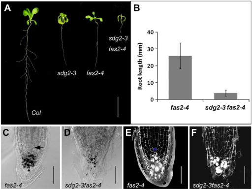 Loss of SDG2 synergistically enhances growth defects of the CAF1 loss-of-function mutant fas2-4. A, Representative example of 14-day-old seedling of the wild-type Col, the single mutants sdg2-3 and fas2-4, and the double mutant sdg2-3 fas2-4. Bar = 1 cm. B, Comparison of primary root length between fas2-4 and sdg2-3 fas2-4 on 16-day-old seedlings. Root length is shown as a mean value from two independent experiments with each comprising at least 20 plants. Bar indicates SD. C and D, Comparison of root cap cell organization between fas2-4 and sdg2-3 fas2-4, respectively. DIC images were taken on Lugol-stained root tips of 6-day-old seedlings. Arrowhead in C indicates QC position. Bar = 50 µm. E and F, Comparison of cell layer organizations of root apical meristem between fas2-4 and sdg2-3 fas2-4, respectively. Confocal images were taken on PI-stained roots of 6-day-old seedlings. The QC cell in E is marked in blue. Bar = 50 µm.