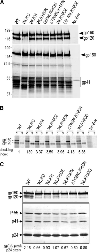 Biochemical analysis of selected revertant clones. (A) Western blotting. At 48-h posttransfection, pΔKADenv–transfected 293T cells were lysed and subjected to reducing SDS-PAGE followed by western blotting with DV-012 to gp120 (upper panel) and mAb C8 to gp41 (lower panel). (B) gp120-gp41 association was determined as for Figure 1B. gp120-shedding index was calculated according to the formula: ([mutant gp120]supernatant x [WT gp120]cell)/([mutant gp120]cell x [WT gp120]supernatant) [12]. (C) Characterization of virions produced by pAD8 infectious clones. Pelleted HIV-1 virions were analysed by Western blotting using DV-012 (upper panel) and pooled IgG from HIV-1-infected persons (lower panel). gp120 and p24 band intensities were determined using a Licor Odyssey scanner.