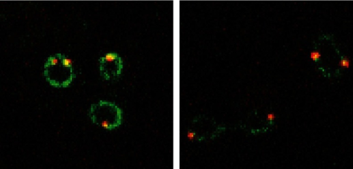 The amount of Ndc1 (green) binding to the spindle pole body (red) is lower in mutant cells (right) than in controls (left).