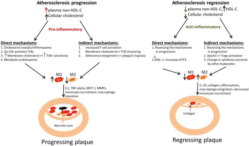 Summary of how changes in plasma cholesterol level and in cellular cholesterol content affect macrophage polarization and kinetics in atherosclerotic plaque progression and regression. Left panel: An increase in non-HDL cholesterol (mainly VLDL cholesterol and LDL cholesterol) in mouse models has been linked to an increase in monocyte recruitment into atherosclerotic plaques, with their subsequent polarization to M1 macrophages, which are retained. This ultimately leads to atherosclerotic plaque progression, as evident by plaque enlargement. The failure to clear dead macrophages by efferocytosis results in the appearance of the necrotic core. Right panel: An opposite effect has been demonstrated in atherosclerosis regression models, where a reduction in non-HDL-C or a selective increase in HDL-C (representing an increase in functional HDL particles) induces a decrease in plaque size and macrophage content (from decreased monocyte recruitment and macrophage retention), as well as enrichment in the expression of markers of the M2 state. Improved efferocytosis is also expected under these conditions, with shrinkage of the necrotic core. There is an increase in collagen content, likely from decreased MMP production by the macrophages. It is also likely that in a regression environment there are decreases in the secretion of inflammatory cytokines and chemokines by the macrophages as a result of the polarization of macrophages toward a M2-like state. The different mechanisms by which cholesterol can drive macrophage activation and polarization are divided into those direct – how cholesterol affects macrophages, and indirect – how cholesterol affects other cell types, for example by the secretion of pro-inflammatory cytokines from T cells.