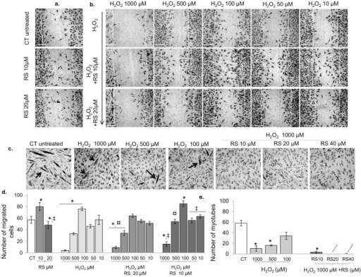 Resveratrol (10 µM) prevented the deleterious effect of H2O2 on cell migration but not cell fusion.(a) Phase contrast images showing the effect of RS alone (10 and 20 µM) on cell migration (24 h). (b, c) Phase contrast images showing the effects of different pre-conditioning resveratrol (RS) concentrations and H2O2 on cell migration (b) and fusion (c). The number of migrated cells and myotubes in the different conditions are summarized in (d) and (e), respectively. (b and graph in d) show that the effects of 24 h H2O2 on cell migration were dose-dependent. High doses of H2O2 (500–1000 µM) blocked cell motility, while it was increased with 100 µM H2O2. (b and graph in d) shows that RS pre-conditioning (10 µM) abolished the deleterious effects of 500 µM, attenuated that of 1000 µM H2O2 and further enhanced cell migration induced by H2O2 100 µM. (c,e) 500 and 1000 µM H2O2 did block cell fusion, which was not rescued with RS preconditioning. Data are expressed as mean ± s.e.m of biological quadruplicate. *: P<0.01 vs. CT; ‡: P<0.01 vs. RS 10 µM; ¤: P<0.01 vs. RS 20 µM. P-value calculated using a two-tailed Student's t-test. Bars 20 µm. Original magnification, x 50.