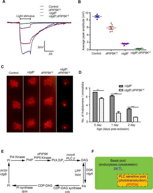 dPIP5K is required to support rdgB dependent function in photoreceptors.(A) Representative ERG traces depicting the response of control, dPIP5K18, rdgB9 and rdgB9; dPIP5K18. Responses to single 2s flash of green light (intensity 5 cf. X-axis of Fig. 2D) are depicted. The genotypes corresponding to each trace are indicated on the top of the graph. Scale bar at the bottom shows the axis; X-axis represents time in seconds and Y-axis represents amplitude of the response in mV. The duration of the light pulse is indicated. (B) Comparison of maximum amplitude of the light response among control, dPIP5K18, rdgB9 and rdgB9; dPIP5K18. Y-axis represents mean +/− S.D of the peak amplitude from five flies. (C) Representative optical neutralization images from control, rdgB9, dPIP5K18 and rdgB9; dPIP5K18 showing the exacerbation of degeneration in rdgB9; dPIP5K18 compared to rdgB9, dPIP5K18 alone does not show any degeneration. The representative images shown are collected from one-day-old flies maintained in L/D cycle (900 lux). (D) Quantification of the effect of dPIP5K18 loss of function on photoreceptor structure in rdgB9. (E) Schematic diagram showing the light induced PIP2 cycle in Drosophila photoreceptors. Genes encoding a given enzyme activity where identified are marked in italics. Notations used: PI(4,5)P2-phosphatidylinositol 4,5 bisphosphate, norpA- no receptor potential A, PLCβ-phospholipase C beta, DAG- diacylglycerol, DGK- diacylglycerol kinase, rdgA- retinal degeneration A, laza-lipid phosphate phosphohydrolase (PA phosphatase), PA-phosphatidic acid, CDP-DAG- Cytidine diphosphate diacylglycerol; CDS CDP-DAG synthase, PI- phosphatidylinositol, rdgB- retinal degeneration B, PITP- phosphatidylinositol transfer protein, PI(4)P- phosphatidylinositol 4-phosphate (F) Schematic representation of the pools of PIP2 in Drosophila photoreceptor membranes. Representations are only semi-quantitative. The total pool of PIP2 in the plasma membrane is shown bounded by the solid black line. The PLC sensitive PIP2 pool sensitive to light induced PLC activity is shown in the rectangle bounded by the broken/dashed line indicating that PLC will likely also use a non-dPIP5K dependent pool. The basal PIP2 pool is indicated in green. The major function of each pool is indicated. Enzymes responsible for the synthesis of each pool are marked.