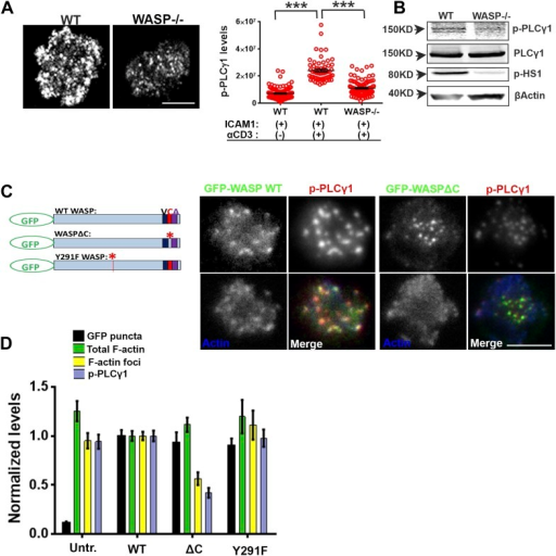 WASP regulates calcium ion signaling via generation of F-actin foci.(A) WASP deficient T cells exhibit impaired TCR-induced PLCγ1-Y783 phosphorylation. CD4 T cells freshly isolated from C57BL/6J WT or Was−/− mice were activated with ICAM1 alone, or both ICAM1 and anti-CD3 for 2 min. Cells were fixed and immunostained for phospho-PLCγ1 (image not shown), and visualized using confocal microscopy. The images show phospho-PLCγ1 staining in the bottom section (synapse plane) of WT (left) or WASP−/− (right) cells. The graph on the left shows phospho-PLCγ1 levels in the synapse planes in the cells in WASP deficiency background. n1 = 104, n2 = 60, n3 = 94, p < 0.0001. (B) Assessment of total cellular PLCγ1 phosphorylation in WASP−/− T cells using western blot. Freshly isolated WT or WASP−/− CD4 T cells were incubated with anti-CD3/CD28 beads for 5 min, lysed, and the lysates were analyzed using western blotting. Note that, in WASP−/− T cells TCR-induced PLCγ1 phosphorylation is defective, while total PLCγ1 is comparable to the WT cells. HS1 phosphorylation was included as a control that exhibits diminished phosphorylation in WASP−/− T cells. These experiments were repeated twice with similar results. (C) Arp2/3 activation by WASP is essential for F-actin foci generation and optimal phospho-PLCγ1 at the synapse. Human CD4 T cells were transfected with GFP-WASP (WT), GFP-WASPΔC, or GFP-WASP291F (shown in the schematic on the left) for 16 hr and were then incubated with anti-CD3/ICAM1-reconstituted bilayers for 2 min, fixed and stained with Alexa568-phalloidin and anti-phospho-PLCγ1 antibody. The images show the GFP (green), F-actin (blue) and phospho-PLCγ1 (red) distribution at the synapse for WT (left) and WASPΔC (right) T cells. (D) The graph shows levels of GFP-tagged constructs at the synapse, analyzed and obtained via 50% rank filtering of images shown in (D), as described in 'Materials and methods', as well as the quantitation of total synaptic F-actin, foci and phospho-PLCγ1 in the same cells, normalized to mean values obtained for WT cells. n1 = 23, n2 = 27, n3 = 33, n4 = 27 p values, p < 0.0001 between WT and WASPΔC cells for foci and phospho-PLCγ1 levels, and between untransfected and cells expressing GFP tagged constructs for 'GFP puncta'. For all other comparisons, p > 0.05.DOI:http://dx.doi.org/10.7554/eLife.04953.009