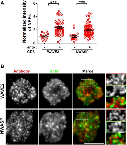 WASP family members NWASP and WAVE2 are not associated with F-actin foci.(A) TCR-induced recruitment of NWASP and WAVE2 to IS. Mouse primary WT CD4 T cells were incubated with bilayer containing ICAM1 alone (−) or both ICAM1 and anti-CD3 (+) for 2 min at 37°C, fixed and immunostained for endogenous proteins. Stained cells were visualized using TIRF microscopy. The graph shows quantitation of antibody fluorescence at IS, where each point represents the value obtained from a single cell. n1 = 16, n2 = 54 (for WAVE2), n3 = 16, n4 = 78 (for NWASP); p1, p2 < 0.0001. Each point represents average levels of indicated protein at synapse in a single cell. (B) The images shown are TIRF plane distributions of the indicated proteins. As elaborated in the magnified areas marked with white boundary in original 'merge' image, there is a lack of co-localization between either of these proteins and TCR MCs. Scale bar, 5 μm. Insets in (B) have been intensity scaled differently from original 'Merge' panel to highlight protein distribution with more clarity.DOI:http://dx.doi.org/10.7554/eLife.04953.007