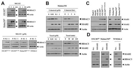 HDAC3 is subjected to ubiquitin-dependent proteasomal degradation. (A) SNU387R or Malme3MR cells were treated with various concentrations of MG132 for 6 h or 1 μM MG132 for various time intervals. SNU387R-Taxol, SNU387R-Vinblastine, Malme3MR-Taxol or WM266-4 cells were also treated with various concentration of MG132 for 6 h. (B) Malme3M cells treated with celastrol or taxol as indicated were subjected to Western blot analysis. (C) Cell lysates isolated from the indicated cancer cells were subjected to Western blot analysis. (D) The indicated cancer cells were transiently transfected with 10 nM of the indicated siRNA. At 48 h after transfection, cell lysates were isolated and subjected to Western blot analysis. Scr. denotes scrambled siRNA.