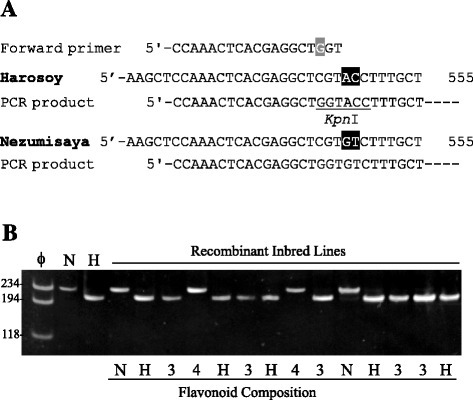 Outline and results of dCAPS analysis of GmF3G2″Gt in soybean. (A) Schematic presentation of dCAPS analysis. Partial nucleotide sequences around the region polymorphic between Harosoy and Nezumisaya are exhibited. A mismatched base in the forward primer is highlighted in gray. Polymorphic nucleotides are highlighted in black. (B) Results of dCAPS analysis of the parents and the recombinant inbred lines derived from a cross between Nezumisaya and Harosoy. PCR products amplified with dCAPS primers were digested by KpnI and the digests were separated on an 8% polyacrylamide gel. ϕ, molecular marker ϕx174/HaeIII; N, Nezumisaya; H, Harosoy. FG pattern of the recombinant inbred lines is exhibited below the gel. H, Harosoy-type; N, Nezumisaya-type, 3, type 3; 4, type 4. The migration of size markers (bp) is shown to the left of the gel.