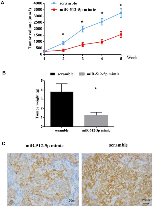 In vivo effect of miR-512-5p on CNE cell growth in nude mice. Tumor size was measured weekly using method mentioned above.(A) Growth curves for CNE/miR-512-5p mimic (n = 10) or CNE/scramble (n = 10) cells by in vivo proliferation assay. (B) Tumors were weighed after animals were killed at 5 weeks after injection. The weight of tumors was significantly decreased in miR-512-5p group compared to scramble group (p = 0.009). (C) Representative photomicrographs of immunohistochemical staining of TERT on xenograft tumor sections obtained from mice in miR-512-5p and scramble groups by immunohistochemistry at 400× magnifications. All data are shown as mean±SD. *P<0.05.