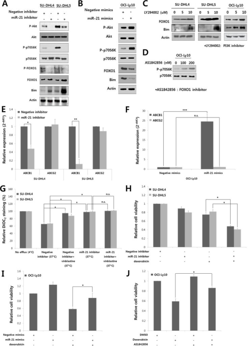 MiR-21 regulates the PI3K/AKT/mTOR/FOXO1 pathway and involved in the drug resistance and proliferation of DLBCL cellsAt 24 hours after transfection of A, the miR-21 inhibitor or negative inhibitor into SU-DHL4 and SU-DHL5 cells or B, miR-21 mimics or negative mimics into OCI-Ly10 cells, Western blotting was performed to determine the levels of phospho-AKT, AKT, phospho-p70S6K, p70S6K, phospho-FOXO1, FOXO1 and Bim. C, SU-DHL4, SU-DHL5, and OCI-Ly10 cells were treated with increasing doses of LY294002, a PI3K inhibitor. At 24 hours after incubation, Western blotting was performed to determine the levels of FOXO1 and Bim. D, OCI-Ly10 cells were treated with increasing doses of AS1842856, a functional inhibitor of FOXO1, and 2 hours after incubation, Western blotting was performed to determine the levels of phospho-p70S6K and p70S6K. At 24 hours after transfection of E, the miR-21 inhibitor or negative inhibitor into SU-DHL4 and SU-DHL5 cells, or F, miR-21 mimics or negative mimics into OCI-Ly10 cells, the expression levels of ABCB1 (MDR1) and ABCG2 were evaluated using qRT-PCR. G, SU-DHL4 and SU-DHL5 cells were treated with the miR-21 inhibitor or negative inhibitor for 24 hours and co-incubated with the efflux-blocking drug, vinblastine, for the last 30 minutes. The cells were then stained with DiOC2, and their drug efflux activity was analyzed. A decrease in the percentage of DiOC2-staining cells determined using FACS represents an increase in the population of cells with drug efflux activity. H, The effect of miR-21 inhibition on the doxorubicin-induced cytotoxicity in SU-DHL4 and SU-DHL5 cells was evaluated using the CCK8 assay. I, The effect of miR-21 overexpression on the doxorubicin-induced cytotoxicity in OCI-Ly10 cells was assessed using the CCK8 assay. J, The relative rates of cell proliferation of OCI-Ly10 cells treated with DMSO (control) and doxorubicin and/or the FOXO1 inhibitor (AS1842856) were determined using the CCK8 assay. The values presented in the histogram are the mean values ± SD. Statistically significant differences are indicated by *, ** and ***, which signify P < 0.05, P < 0.005 and P < 0.0005, respectively, as determined using the paired t-test.