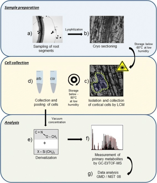 Workflow illustration: LCM-mediated harvest of root cortex cells for metabolite profiling. Root fragments of mycorrhizal and non-mycorrhizal Medicago truncatula plants were lyophilized and sectioned with a cryostat (a and b). In 35 μm longitudinal sections, cortical cell populations were identified and isolated by laser microdissection (c and d). Approximately 13,000 cells for each cell type (arbuscule containing cells of mycorrhizal roots [arb] and cortical cells of non-colonized roots [cor]) were collected and subjected to derivatization (e). GC-EI/TOF-MS measurements facilitated the abundance of primary metabolites in the analysed samples (f). The corresponding compounds were identified through spectral matching against the National Institute of Standards and Technology library (NIST08) (g)