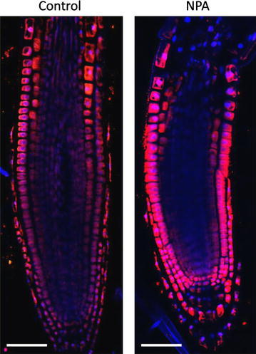 Auxin immunolocalisation in Arabidopsis roots. Four days old Arabidopsis seedlings were treated with 1 µM 1-N-Naphthylphthalamic acid (NPA) for 24 h to enhance accumulation of auxin in roots. Seedlings were fixed for 20 min in 4 % EDAC in 1× MTSB, and next 30 min in 4 % EDAC+ 2 % Formaldehyde. Anti-indole 3 acetic acid (IAA) rabbit primary antibody (Agrisera, AS06 193) diluted 1:600 plus Goat anti-rabbit IgG (H&L), DyLight® 549 Conjugate (AS09 633) as secondary antibody diluted in 1:3000 (shown in red color) were used. Scale bar 20 µm