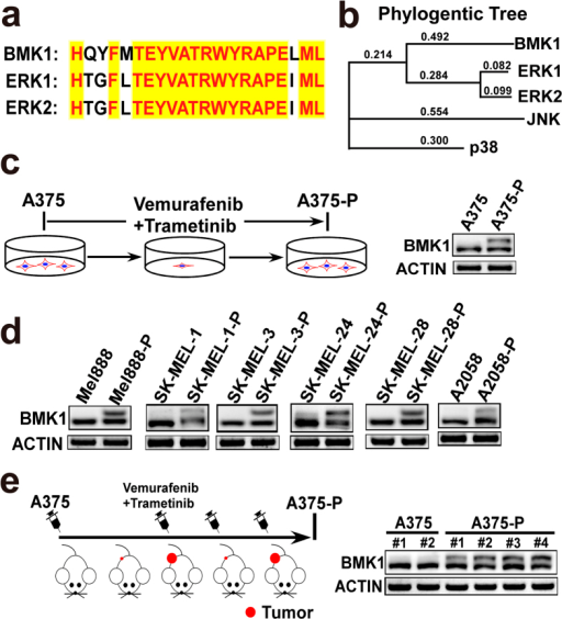 Phosphorylation of BMK1 is associated with the resistance to CIBM.(a) The Thr-Glu-Tyr (TEY) activation motif of BMK1 shows significant similarity with ERK1/2. (b) Phylogentic tree analysis indicates that BMK1 is the most closely related to ERK1/2. (c) Phospho-BMK1 was enhanced by the combined inhibition of BRAF and MEK1/2. Phospho-BMK1 was evaluated in A375-P resistant cells, which were built as described above. (d) Several BRAF V699E mutant melanoma cell lines were used to evaluate the phosphorylation of BMK1 in drug resistant cells, which were built as described above. (e) The phosphorylation of BMK1 is increased in A375-P xenograft model, compared with A375 xenograft model. Briefly, A375 cells were suspended in DMEM and injected subcutaneously into the flank of Nod/Scid mice. After 2 weeks, the mice were grouped and treated with/without Vemurafenib and Trametinib. The phospho-BMK1 in resulting individual A375 (without Vemurafenib and Trametinib treatment) and A375-P (with Vemurafenib and Trametinib treatment) tumors was evaluated by western blot as noted.