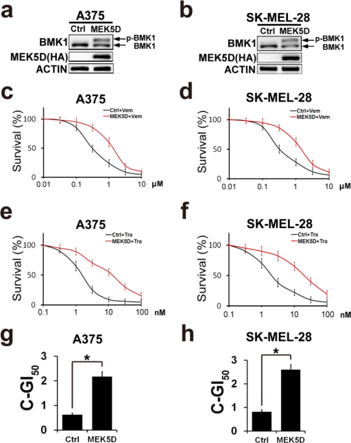 Phosphorylation of BMK1 enhances the resistance to CIBM.(a,b) A375 and SK-MEL-28 cells were transfected with a constitutively active mutant of MEK5 (HA-MEK5D) and empty vector followed by selection with puromycin. The lysates of stable vector (control) and MEK5D cells were analyzed by western blot using anti-BMK1 and anti-ACTIN antibodies as noted. (c,e) A375-Ctrl (control) and A375-MEK5D cell growth inhibition curves of Vemurafenib or Trametinib as noted. Briefly, six replicates of A375-Ctrl (control) and A375-MEK5D cells were treated with Vemurafenib or Trametinib for three days at the concentration as noted. Then MTT assays were used to build growth inhibition curves. Unless otherwise stated, three-day MTT assays were used to build growth inhibition curves in this study. (d,f) SK-MEL-28-Ctrl (control) and SK-MEL-28-MEK5D cell growth inhibition curves of Vemurafenib or Trametinib as noted. (g) A375-Ctrl and A375-MEK5D cell combined GI50 of Vemurafenib and Trametinib as noted. The combined GI50 was assessed as described in Fig. 2d. (h) SK-MEL-28-Ctrl and SK-MEL-28-MEK5D cell combined GI50 of Vemurafenib and Trametinib.