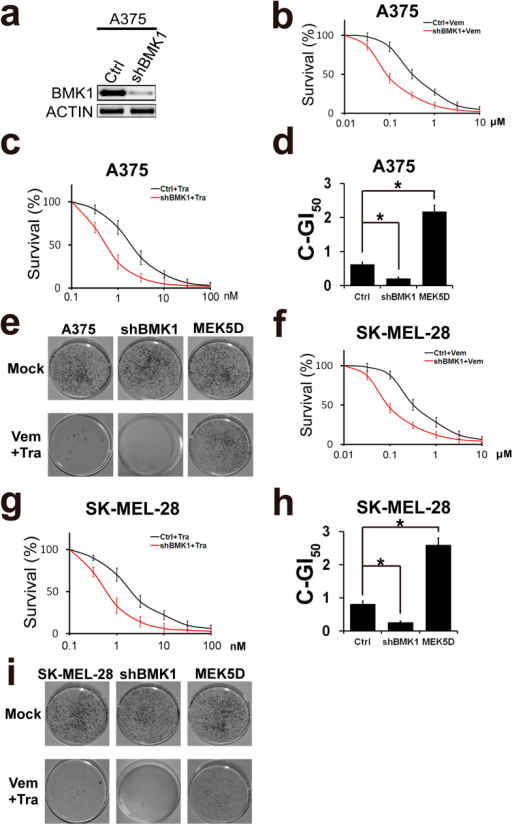 Inhibition of BMK1 by shRNAi suppresses the resistance to CIBM.(a) Control and shRNA-mediated knockdown cells were built as described in our previous study22. Then the A375 cell lysates were analyzed by western blot using anti-BMK1 and anti-ACTIN antibodies as noted. (b,c) A375-Ctrl (control) and A375-shBMK1 cell growth inhibition curves of Vemurafenib or Trametinib as noted. (d) A375-Ctrl and A375-shBMK1 cell combined GI50 of Vemurafenib and Trametinib. (e) Colony formation assay of the indicated cell lines. Cells were treated with/without the combination of 2 μM Vemurafenib and 10 nM Trametinib as noted. Resultant cells were stained with crystal violet. (f,g) SK-MEL-28-Ctrl (control) and SK-MEL-28-shBMK1 cell growth inhibition curves of Vemurafenib or Trametinib as noted. (h) SK-MEL-28-Ctrl and SK-MEL-28-shBMK1 cell combined GI50 of Vemurafenib and Trametinib.