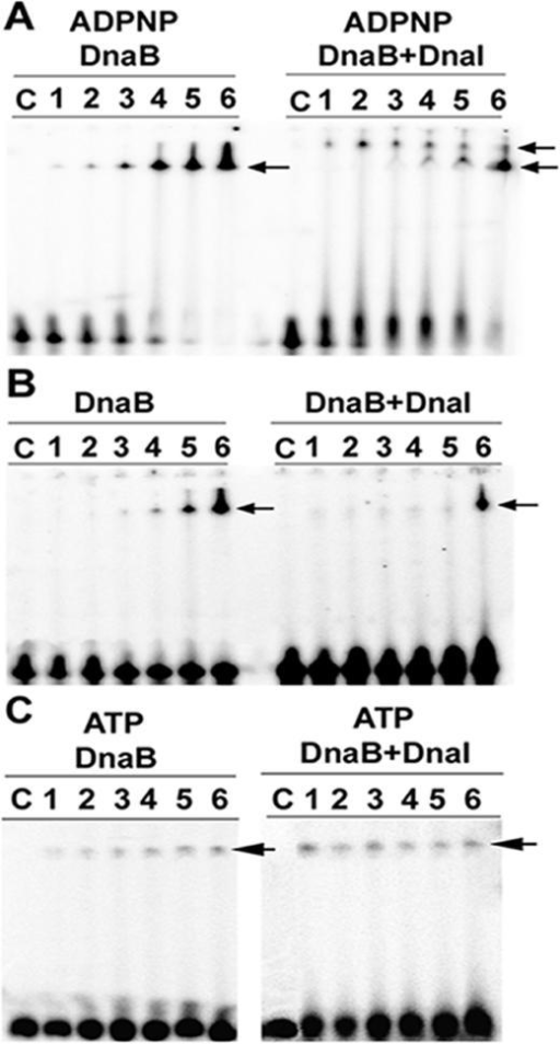 Binding of the helicase loader (DnaI)-helicase (stearoDnaB) complex to ssDNA. Gel shifts showing binding of increasing concentrations of stearoDnaB (lanes 1–6, 0.25, 0.5, 1, 2, 4 and 8 μM, respectively) to a 50mer single-stranded oligonucleotide in the presence of 1 mM ADPNP (A), in the absence of ADPNP (B), in the presence of 1 mM ATP (C) and in the presence (A–C, right segments) of 8 μM DnaI or absence of DnaI (A–C, left segments), as indicated. Arrows indicate the shifted bands.