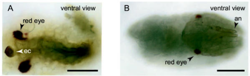 Examples of developmental defects in embryos maintained at 16°C at day 42. (A) This embryo has red eyes and an egg burster, both characteristic of embryos about to hatch, but the yolk has not been enclosed through dorsal closure. (B) This embryo has red eyes, but is curled at the posterior of the egg, typical of early katatrepsis (see figure 2H). Embryos are orientated as they would be in the egg, with the anterior of the egg to the left. Scale bars are 100 μm long.