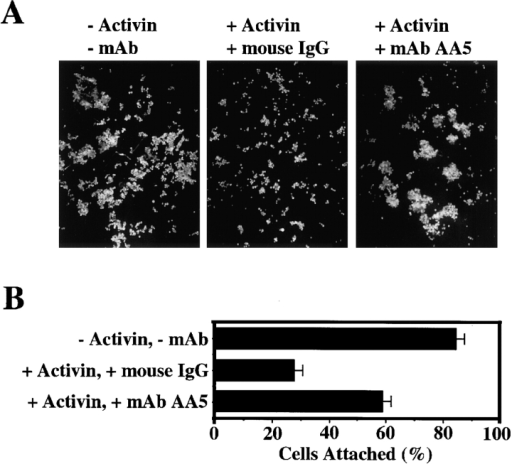 mAb AA5 enhances the C-cadherin–mediated adhesion of activin-induced animal cap blastomeres. (A) Blastomere  aggregation assay. Dissociated blastomeres were treated with or  without activin (5 ng/ml). Activin-treated blastomeres were incubated either with mAb AA5 Fab (1 μg/ml) or nonimmune mouse  IgG Fab (1 μg/ml) in the presence of calcium, and then allowed  to aggregate with constant shaking for 15 min. (B) Blastomere  adhesion to CEC1-5. Dissociated blastomeres were treated with  or without activin. Activin-treated blastomeres were incubated  with either mAb AA5 Fab or nonimmune mouse IgG Fab, and  then allowed to attach to spots of CEC1-5 protein coated on a tissue culture plate in the presence of calcium for 30 min. The plates  were then shaken continuously for 2 min on a horizontal shaker  and the numbers of blastomeres per unit area remaining attached  were counted. The graph shows the results of three different experiments, each performed in duplicate.