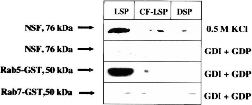 Binding of NSF and rab5 on different phagosomes. (Top) Phagosomes stripped of endogenous NSF by 0.5 M KCl treatment were incubated in presence of purified NSF in the fusion buffer containing cytosol as described in Materials and Methods. Presence of NSF on the phagosomes was determined by Western blot using specific antibody using ECL. Phagosomes were treated with Rab-GDI to remove endogenous rab5 and NSF and incubated in presence of purified NSF, rab5, or rab7 in the fusion buffer containing cytosol as described in Materials and Methods. Presence of NSF (second row), rab5 (third row), and rab7 (bottom) on respective phagosomes was determined using specific antibodies by Western blot using ECL. LSP, live Salmonella-containing phagosome; CF-LSP, LSP treated with ciprofloxacin; DSP, dead Salmonella-containing phagosome.
