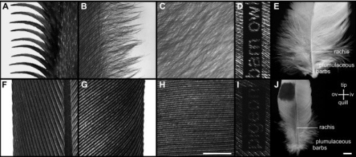 Details of a feather. (A-E) Details of the barn owl's feather p10. (A) Serrations at the outer vane's leading edge. (B) Fringes at the inner vane's trailing edge. (C) Velvet-like dorsal surface of the inner vane. (F-J) Details of the pigeon's feather p10. (F) Leading edge of the outer vane. (G) Trailing edge of the inner vane. (H) Dorsal surface of the inner vane; scale bar: 1 mm. (D, I) Qualitative illustration of the porosity (translucency) of black dyed inner vanes of feather gsc5 of the barn owl (D) and the pigeon (I). (E, J) Plumulaceous barbs of feather gsc5 of the barn owl (E) and the pigeon (J); scale bar: A-D and F-I: 1 mm, E and J: 5 mm.