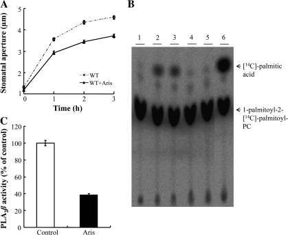 The effect of aristolochic acid (Aris), a low molecular weight PLA2 inhibitor, on the activity of purified PLA2β. (A) Light-induced stomatal opening of wild-type Arabidopsis in the presence or absence of 20 μM Aris. (B) Thin layer chromatography (TLC) analysis of the hydrolytic activity of recombinant PLA2β. Purified PLA2β was incubated in 100 mM TRIS–HCl (pH 8.0) at 40 °C in the presence or absence of 20 μM Aris for 40 min, and then PLA2β hydrolytic activity was assayed in the presence of 1-palmitoyl-2-[14C]palmitoyl-PC. The acyl-hydrolysis activity of the recombinant protein was greatly inhibited by Aris, compared to the solvent controls. Lane 1, substrate only; lanes 2–3, solvent controls (40 μM NaOH); lanes 4–5, 20 μM Aris dissolved in NaOH; lane 6, bee venom low molecular weight secretory PLA2 was used instead of purified PLA2β to identify the position of 14C-palmitic acid in the TLC plate. (C) The results from TLC were quantified using a phosphoimager (n=4).