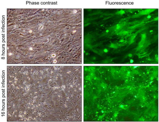 Representative phase contrast images and fluorescence (green) (10×) of bovine endometrial stromal cells at different time (12, 24, 48, 72 h) post infection (P.I.) with 1 m.o.i. of BoHV-4 EGFPΔTK and the respective phase contrast images of uninfected control. Spreading of the infection can be observed by the green colour invading the field during the time and the CPE is morphologically appreciable by the change of the cell shape, where the cells tend to shrink, becoming roundest and detaching the flask surface. The experiment was repeated three times giving the same result. Each experiment was repeated three times giving similar results.
