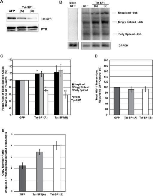 Tat-SF1 maintains the levels of unspliced and spliced HIV-1 RNAs.(A) Western blot analysis confirming knockdown in T-Rex-293 cells. (B) Representative Northern blot analysis of HIV-1 RNA classes. T-Rex-293 cells were transfected with pSG3ΔEnv 72 hours after tetracycline induction. At 48 hours post-transfection, total RNA was isolated for electrophoresis and Northern blotting. A DNA probe specific to the HIV-1 LTR detected the ∼9 kb unspliced, ∼4 kb singly spliced, and ∼2 kb fully spliced RNAs. Lane 1 contains RNA from mock-transfected GFP control cells, lane 2 from transfected GFP control cells, and lanes 3 and 4 from transfected Tat-SF1 shRNA cells. The lower panel shows the same membrane, stripped and reprobed for GAPDH. (C) Tat-SF1 depletion alters the levels of HIV-1 RNA classes. Values are reported as the mean proportion of each RNA class, relative to the GFP control cells from three independent Northern blot experiments. Error bars represent standard error. Statistically significant differences between GFP control and Tat-SF1 knockdown conditions are indicated with asterisks. (D) Tat-SF1 depletion does not alter total HIV-1 RNA levels. Levels of the 3 RNA classes quantified from triplicate Northern blots were totaled and normalized to GAPDH levels. Values are reported as the means relative to the GFP control cells from three independent experiments. Error bars represent standard error. (E) Tat-SF1 depletion results in an increase in unspliced HIV-1 transcripts. qRT-PCR was performed on the same RNA samples used for Northern blot experiments. The medians of triplicate amplifications (both unspliced products and all initiated HIV-1 transcripts) were calculated and means of unspliced transcripts/all initiated HIV-1 transcripts ratios from triplicate samples are reported. Error bars represent standard error.