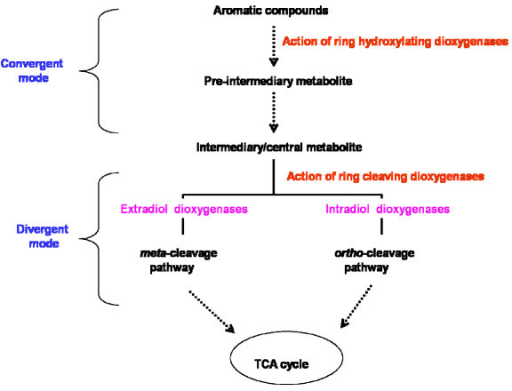 Schematic diagram showing the role of aromatic dioxygenases in the bacterial degradation of aromatic compounds (Adapted from Khajamohiddin et al., 2008).