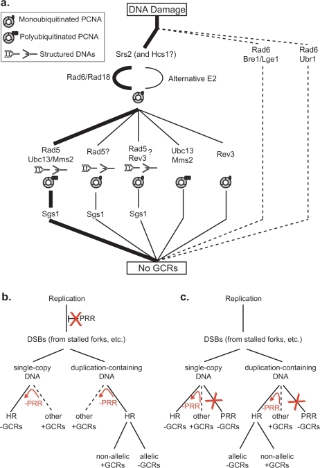 "Models for the suppression of duplication-mediated GCRs by PRR.A. The most important RAD6-dependent pathway that suppresses duplication-mediated GCRs (thick lines) corresponds to the ""error-free"" PRR branch, which is downstream of Srs2. Other Rad6- and Rad18-dependent branches are less important (thin lines). The presence of specific PCNA and DNA states are inferred based on the genes involved in the pathway. Sgs1 appears to act downstream of the Rad5-dependent branches. The existence of Rad5 branches that are independent of Ubc13 and Rev3 that could be dependent upon Rad6 and Rad18 or independent of Rad6 is inferred by the observation of synergistic interactions between mutations in RAD5 and mutations in RAD6, UBC13 and REV3. Our data do not directly address the previously identified Rad5- and Rev3-dependent branch [46]. B. PRR could potentially suppress duplication-mediated GCRs by preventing replication damage from being converted into DSBs and other HR substrates. Suppression of single-copy GCRs also requires that PRR promotes other GCR forming pathways (such as NHEJ and de novo telomere addition) or requires PRR-dependent suppression of HR. C. PRR could potentially suppress duplication-mediated GCRs by functioning as an alternative to HR. Suppression of single-copy GCRs also requires that PRR promotes other GCR forming pathways (such as NHEJ and de novo telomere addition) or requires PRR-dependent suppression of HR. The red arrows and Xs in B and C indicate the consequences of PRR defects."