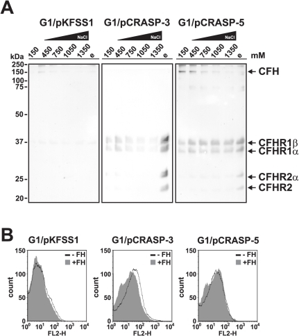 Serum proteins display differential binding capabilities to CRASP-3 and CRASP-5.(A) The binding capabilites of serum proteins to B. garinii strains G1/pKFSS1, G1/pCRASP-3, and G1/pCRASP-5 were assessed in the presence of increasing salt concentrations. Spirochetes were incubated in NHS plus EDTA, washed fourfold with PBSA containing 0.05% Tween20. Cells were then resuspended in PBSA containing 450 mM NaCl, incubated for 15 min at room temperature, and sedimented by centrifugation. The steps were repeated with increasing concentrations of NaCl. Strong binding proteins were finally eluted using 0.1 M glycine buffer (e). The supernatants obtained from the last wash fraction (150 mM NaCl), fractions from the incubation reactions (450, 750, 1050, 1350 mM NaCl), and the eluate fraction were then separated by Glycine-SDS-PAGE and transferred to nitrocellulose. Membranes were probed with polyclonal anti-CFHR1 antiserum to detect CFH and CFHR proteins. Mobilities of molecular mass standards are shown to the left of the panels. (B) The binding capability of CFH to G1/pCRASP-3 and G1/pCRASP-5 was further analyzed by flow cytometry. The binding of CFH to G1/pCRASP-3 and G1/pCRASP-5 is shown by the solid line while the grey shaded histogramm represents the binding of control strain G1/pKFSS1 (control). Borrelial cells were incubated with 4 µg CFH. The x-acis shows the fluorescence on a log10 scale and the the y-acis represents the numbers of events. The isotype control (no CFH added) has been omitted for easier visualization.