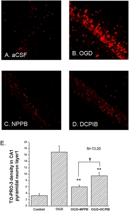 The effects of NPPB and DCPIB on OGD induced pyramidal neuron death.Besides the control group (in aCSF, A), the hippocampal slices were randomly divided into three groups after 25 min OGD treatment to receive the following post-OGD treatment: 1) in bath solution (B. OGD); 2) bath solution+100 µM NPPB (C. NPPB); and 3) bath solution+10 µM DCPIB (D. DCPIB). The fluorescence density of the TO-PRO-3-I staining is proportional to the neuronal death. Between the aCSF control and the OGD group, the neuronal death increased by 5.3 fold (3.2±0.6 in aCSF vs. 16.9±1.9 in OGD, n = 13). The neuronal death was reduced to 6.0 ±0.5 (n = 20) by 100 µM NPPB, and to 9.4±1.1 (n = 20) by 10 µM DCPIB. Both NPPB and DCPIB were added in the reperfusion bath solution to inhibit post-OGD VRAC. All the fluorescence intensity values are arbitrary. **. The difference between the OGD and NPPB or DCPIB groups is statistically significant at p≤0.01t. †. The difference between the NPPB and DCPIB groups is statistically significant at p≤0.05.
