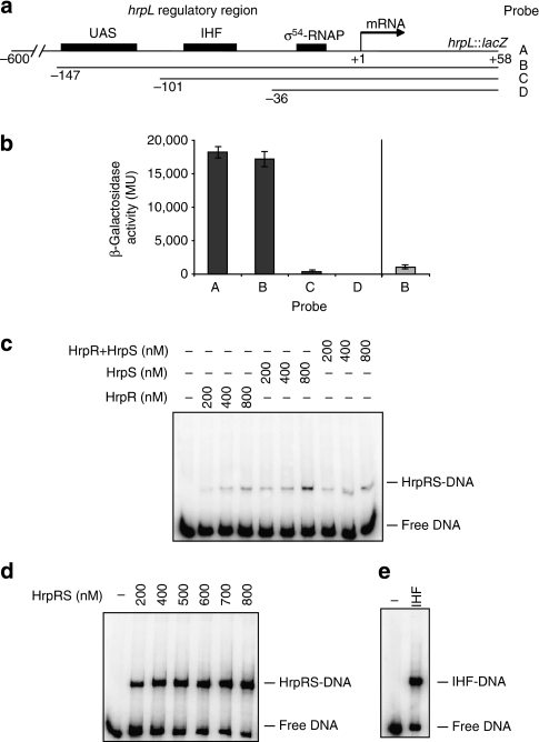 hrpL promoter functional UAS site mapping and promoter binding.(a) Overview of upstream promoter truncation constructs of the hrpL promoter DNA::lacZ repoter gene (A: −600 to +58; B: −147 to +58; C: −101 to +58 and D: −36 to +58; numbering with respect to the transcription start-site, +1) used to map functional UAS sequences and showing candidate UAS upstream activator sequences (black boxes), IHF (integration host factor) and σ54-RNAP-binding sites. (b) In vivo transcription from reporter constructs shown in a, in either wild-type E.coli (MC4100, black bars) or an isogenic strain deleted for IHF coding sequence (grey bar). (c) Electrophoretic mobility shift assay using the hrpL promoter probe with increasing HrpR, HrpS, pre-mixed HrpR and HrpS (HrpR+HrpS) concentrations (as indicated). (d) As in c with co-expressed, co-purified HrpRS (HrpRS). (e) Electrophoretic mobility shift assay of the hrpL promoter probe with (10 nM) IHF. In b, all assays were minimally performed in triplicate and standard errors of the mean are shown.