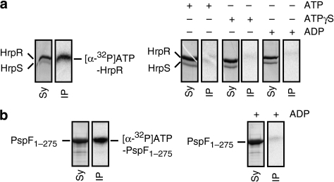 ATP binding to HrpR and HrpS subunits.SDS–PAGE gel of ultraviolet radiated proteins. (a) Co-purified HrpRS in the presence of [α-32P]ATP and when supplemented with excess of non-labelled competitor nucleotides (as indicated). The relative concentrations of the Hrp proteins were visualized using SYPRO Ruby protein staining (Sy), and were compared with the relative intensities of the crosslinked radioactive species (determined by PhosphoImager analysis; IP). Full gel images are shown in Supplementary Figure 5. (b) As in a using PspF1−275 as comparative control, for which specific ATP-binding methodology has been established3945.