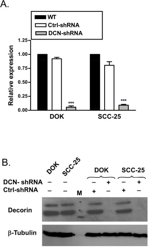 Validation of stable knockdown of decorin in DOK and SCC-25 cells. DOK and SCC-25 cells were stably transfected with decorin-shRNA (DCN-shRNA), or scrambled sequence-shRNA (Ctrl-shRNA) or no transfection control (WT). A, RNA was extracted and cDNA was subjected to quantitative RT-PCR, normalized decorin expression from one representative experiment of three. B, Nuclear lysates were extracted and were subjected to SDS-PAGE followed by immunoblotting with anti-decorin and anti-β-tubulin antibodies. Data presented is one representative immuoblot of at least three experiments. *** p < 0.001 compared to respective controls.