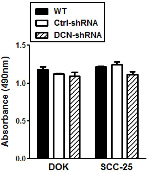 Decorin silencing does not affect DOK or SCC-25 cell growth/proliferation. WT, control and decorin silenced DOK and SCC-25 cells were cultured for 24 h. During the last hour of culture, 20 μl of CellTiter 96® Aqueous One Solution Reagent containing a tetrazolium compound [3-(4,5-dimethylthiazol-2-yl)-5-(3-carboxymethoxyphenyl)-2-(4-sulfophenyl)-2H-tetrazolium, inner salt; MTS] and an electron coupling reagent (phenazine ethosulfate; PES) was added to the media (100 μl per well), and color changes were recorded by absorbance at 490 nm. Data are presented as mean ± SE of three replicates of one representative experiment of three.