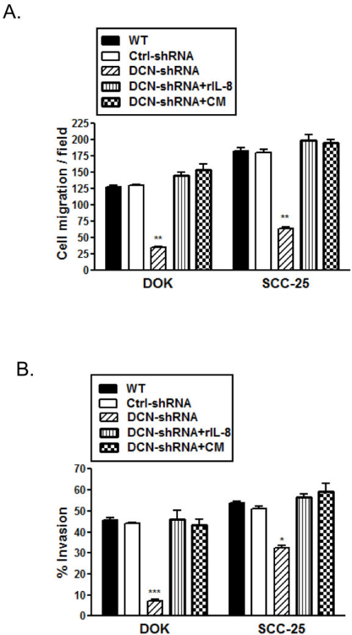Migration and invasion suppression rescued by addition of IL8 in decorin silenced cell lines. Decorin silenced DOK and SCC-25 cells were cultured with 2.5 ng/ml of recombinant human IL-8 (R&D Systems, Minneapolis, MN) or conditioned medium (CM) from respective wild type cell lines for 24 h prior to migration and invasion assay. A, Cell motility through uncoated filters (migration) was measured 22 h after plating. The migrating cells were fixed, stained, and photographed as described in materials and methods. A, Migrated cells in each one of the five fields of duplicate filters were counted, numbers represent mean ± SD of three experiments. B, Cells that invaded across the Matrigel™ layer were fixed, stained, and photographed. Migrated and invaded cells in five fields of duplicate filters were counted and % invasion was calculated as described in materials and methods. Numbers represent mean ± SD of three individual experiments. * p < 0.05, ** p < 0.01, *** p < 0.001 compared to respective controls.