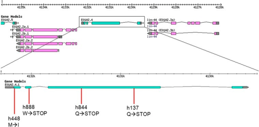 Location of let-504 alleles. The changes underneath the allele name indicate amino acid changes.