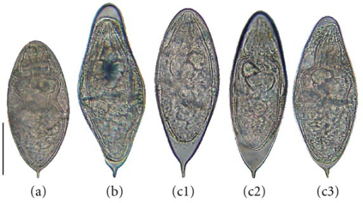fig2:Natural Interactions between S. haematobium and S ...
