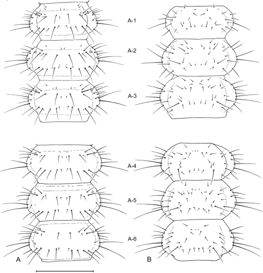 Larval abdomen (L3), of Leptotrachelus dorsalis (Fabricius). A dorsal aspect B ventral aspect. Abdominal segments A-1 through A-6. Scale line equals 0.5 mm.