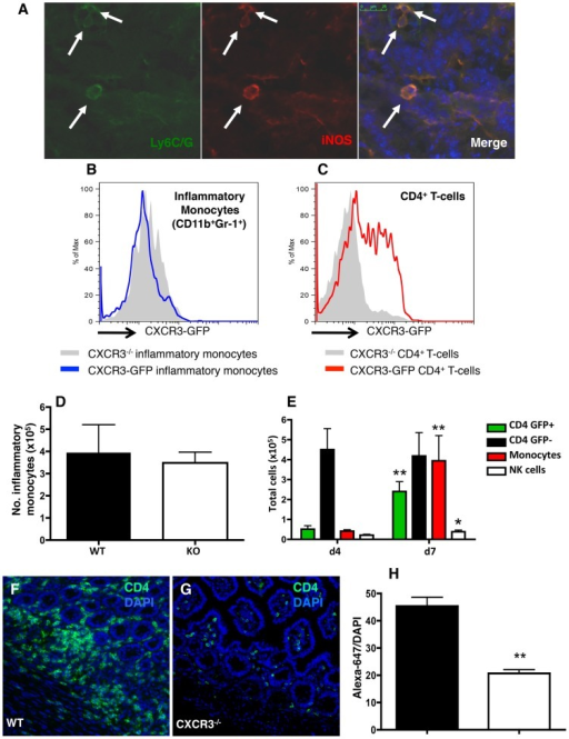 CD4+ T-cell recruitment, but not the presence of inflammatory monocytes, is impaired in the small intestine in the absence of CXCR3.(A) Frozen sections of intestines from infected WT mice were co-stained for Ly6C/G (Gr-1) (green) and iNOS (red) to confirm the presence of inflammatory monocytes in the mucosa of Day 6-infected animals. (B and C) Small intestinal LP cells were isolated from CXCR3-GFP reporters and Cxcr3−/− mice 6 days following oral infection. In the CXCR3 reporter mice, inflammatory monocytes (B, blue line) and CD4+ T cells (C, red line) were assessed for GFP expression by flow cytometry as compared to Cxcr3−/− cells (gray shaded in both histograms). (D) Total numbers of lamina propria inflammatory monocytes 6 days after infection. Neutrophils were excluded by gating on Ly6G-negative cells. (E) Total numbers of CD4+CXCR3-GFP+ T cells, CD4+CXCR3-GFP− T cells, inflammatory monocytes, and NK cells in the lamina propria of WT and Cxcr3−/− mice 4 and 7 days post-infection. Statistical comparisons were made between time points of respective cell types, where * p<0.05 and ** p<0.01. In panels F–G, WT (F) and Cxcr3−/− (G) intestinal frozen sections were stained with anti-CD4 antibody followed by anti-rat Alexa-647. Sections were visualized by immunofluorescence microscopy. (H) To quantify CD4+ T-cell infiltration, the ratio of Alexa-647 over DAPI fluorescence was calculated (WT: n = 3; KO: n = 3; 6–12 fields/mouse; p<0.01). Pooled ratios are represented as mean +/− SEM.