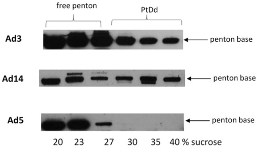 Detection of Ad14 PtDd by Western blot analysis.HeLa cells were infected with wild-type Ad3, Ad14, and Ad5 at an MOI of 500 vp/cell for 7 hours. Thirty-six hours after infection, cell lysates were subjected to ultracentrifugation on a sucrose gradient. Fractions were analyzed by Western blot using a polycloncal antibody against Ad3 PtDd, which also cross-reacts with Ad5 and Ad14 penton base.