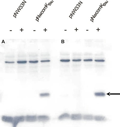 Detection of B. subtilis ComK protein. Equal amounts of proteins were loaded in each lane. Strains carrying an empty plasmid pNW33N or pNWcomKBsu were grown in MM, supplemented with chloramphenicol (5 µg ml−1). Samples were taken 2 h (A) and 3 h (B) after IPTG induction (+) (final concentration 1 mM) or without IPTG induction (−). Cells were separated from the growth medium by centrifugation, lysed and analysed by Western blotting using ComKBsu‐specific antibodies (see Experimental procedures). The arrow indicates ComKBsu‐specific signal.