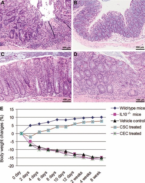 Local stem cell transplantation reverses indicators of colitis: Changes seen in colonic pathology were graded using a validated histological injury score. Histology scores ranging from 0 to 15 were ascribed to each specimen. (A) Colon from an untreated IL-10−/− mouse. Colitis was severe with enterocyte loss, crypt inflammation, the presence in the lamina propria of mononuclear cells and neutrophils, and epithelial hyperplasia. In contrast, CSCs transplantation induced histological remission in IL-10−/− mice with active colitis. Approximately 16% of CSC-treated IL-10−/− mice (4 of 25) showed complete resolution (B); approximately 60% of CSC-treated IL-10−/− mice (15 of 25) had only a mild degree of inflammation (injury scores between 1 and 5) (C), and approximately 25% of CSC-treated IL-10−/− mice (6 of 25) showed only moderate inflammation (injury scores between 6 and 10) (D). (E) IL-10−/− mice exhibit a significant increase in their body weight after a single dose of local stem cell transplantation compared to the other groups.