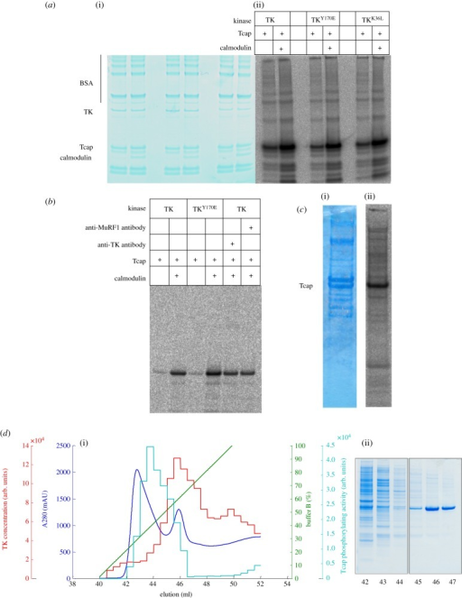 Tcap phosphorylation assays using TK preparations from insect cells. (a) Preparations of wild-type TK, the activated TKY170E phosphomimic and the constitutively inactive TKK36L phosphorylate Tcap comparably and stimulated by Ca2+/calmodulin. (i) SDS-PAGE and (ii) autoradiogram of catalysis by samples after Ni2+-NTA are shown. (b) Phosphorylation assay of TK sterically inhibited by immuno-complexation with an antibody raised against the P+1 loop vicinal to the active site. An antibody (anti-MuRF1) that does not complex TK is included for comparison. (c) Untransfected Sf21 cell extracts supplemented with Tcap (but not Ca2+/calmodulin) display phosphorylating activity (the stimulation of catalysis upon addition of calmodulin was approx. 25%, this modest activation is likely due to the presence of endogenous calmodulin in the extract). (i) SDS-PAGE and (ii) autoradiogram revealing Tcap phosphorylation. (d) (i) Chromatogram and (ii) corresponding SDS-PAGE of Sf21 cell crude extract containing recombinant TKK36L eluted from a Ni2+-NTA column. Segregation of phosphorylating activity (cyan) and TK (red) during purification is observed. Bound proteins were eluted with a linear gradient of imidazole (100% buffer B = 0.3 M imidazole; green line) and monitored by A280; the resultant chromatogram is in blue. The content of TKK36L in eluted fractions was determined by spot-blot immunoassay using anti-TK P+1 loop antibody. The amount of coloured product quantified densitometrically was proportional to the amount of TKK36L in each fraction (red). Phosphorylation of a Tcap-derived peptide substrate in the presence of calmodulin was quantified in each fraction densitometrically by our standard phosphorylation assay that used [γ-33P]ATP and spotting on P81 paper (cyan). The data show that Tcap phosphorylation segregated from TKK36L.