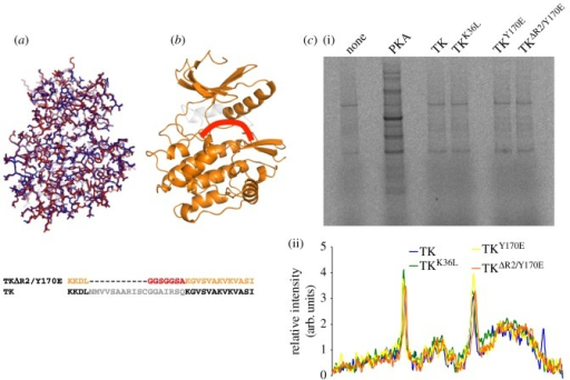Structural and functional characterization of TK produced in E. coli. (a) Superposition of the crystal structures of TK expressed in bacteria (red) and insect cells (PDB entry 1TKI) (blue). The overall RMSD for Cα atoms is 0.29 Å. (b) Representation of the activated variant TKΔR2/Y170E, where the deleted fraction is in grey and the added loop is shown schematically in red. The sequence exchanges in this variant are shown below. (c) Identification of potential TK substrates in differentiating C2C12 cell extracts depleted of endogenous kinases by treatment with FSBA. Protein kinase A (PKA) was used as positive control. (i) Autoradiogram and (ii) densitogram of phosphor-image are provided. The data show no significant differences in labelling pattern when comparing cell extract alone or supplemented with activated forms of TK.