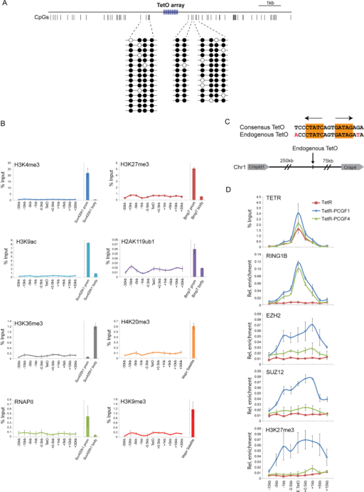 "Variant PRC1 Complex-Dependent PRC2 Targeting Occurs on an Inert TetO Array Template and at a Single Natural TetO Site in Mouse ESCs, Related to Figure 1(A) Bisulfite sequencing reveals that CpG dinucleotides flanking the engineered TetO array in the Human BAC DNA remain methylated, as they are in human tissue, when stably inserted into the mouse genome. This indicates that normal DNA methylation features are recapitulated on the integrated DNA sequence.(B) ChIP-qPCR analysis of the human BAC/TetO array stably integrated into mouse ESCs. ChIP was performed with antibodies specific for permissive chromatin marks and features of active transcription (left: H3K4me3, H3K9ac, H3K36me3, and RNAPII) and repressive chromatin features (right: H3K27me3, H2AK119ub1, H4K20me3, and H3K9me3). For each antibody, qPCR enrichment at a known target site is shown as a positive control. For gene-associated chromatin modifications this includes promoter (prom) and body amplicons for the indicated genes, while H3K9me3 and H4K20me3 were analyzed at sites in the repetitive major satellite regions. Together these observations indicate that the human BAC DNA, when inserted into mouse ESCs, retains its inert features and remains suitable for studying polycomb domain formation in tethering assays.(C) A position on mouse chromosome 1, distant from surrounding genes, contains a single site that has a high degree of homology to a consensus bacterial TetO-binding site. This provides a ""natural"" site in the genome at which to analyze TetR fusion protein binding and function.(D) ChIP-qPCR analysis of TetR, TetR-PCGF1 (variant PRC1), and TetR-PCGF4 (canonical PRC1) binding at the single natural TetO and flanking regions (Top). In each case, occupancy of PRC1 leads to RING1B recruitment (second panel). However, as observed at the engineered TetO array EZH2, SUZ12, and H3K27me3 are only recruited to the endogenous TetO site when a variant PRC1 complex occupies the site (bottom three panels). Together these observations demonstrate that variant PRC1 complex-dependent PRC2 recruitment and de novo polycomb domain formation is observed at a ""natural"" sequence in the mouse genome, and is not the result of copy number or site specific features inherent to the engineered TetO array. All ChIP experiments in (B and D) were performed in biological duplicate with error bars showing SEM."