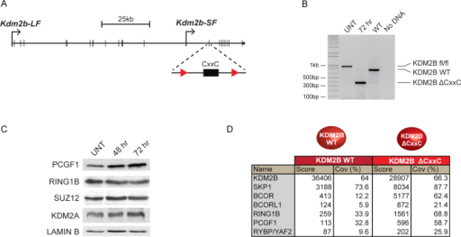 A Model Cell System to Inducibly Disrupt Targeting of the PCGF1/PRC1 Complex, Related to Figure 5(A) A schematic of the Kdm2b gene showing the long form (Kdm2b-LF) and short form (Kdm2b-SF) transcription start sites. The positions of LoxP sites are highlighted flanking the exon which encodes the ZF-CxxC domain.(B) PCR with primers spanning the floxed exon was performed on genomic DNA from the Kdm2bfl/fl cells (UNT), the Kdm2bfl/fl cells treated for 72 hr with tamoxifen (72 hr), and wild-type cells (WT). 72hrs of tamoxifen treatment leads to a clear deletion of the floxed exon.(C) Western blot analysis indicates that loss of the KDM2B ZF-CxxC domain does not lead to destabilization of the PCGF1 and RING1B components of the KDM2B variant PRC1 complex or upregulation of its paralogue KDM2A. Furthermore, PRC2 remains present as indicated by normal levels of SUZ12.(D) Affinity purification of full-length epitope tagged wild-type (WT) KDM2B and KDM2BΔCxxC followed by tandem mass spectrometry-based analysis of associated proteins. The mascot score and percentage coverage is indicated for the KDM2B/PRC1 complex components. Importantly, removal of the ZF-CxxC exon generates a product that still associates with the PCGF1/PRC1 variant complex but lacks its capacity to bind nonmethylated DNA.